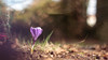 le printemps n'est pas loin (gimi.bene) Tags: fleur flower bokeh crocus bleu macro grosplan planrapproché profondeurdechamp proxy