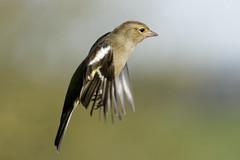Pinson A6503921_DxO (jackez2010) Tags: ilce6500 fe100400mmf4556gmoss bif birdinflight pinsondesarbres
