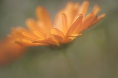 éclat d'orange (christophe.laigle) Tags: christophelaigle fleur macro nature flower fuji lumière xpro2 xf60mm orange coth coth5