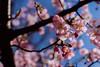 IMGL0620 (GARNETSKY2006) Tags: 180304sakura 5d3 sakura cherryblossom 50mmf12