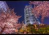 Mori Tower Sakura (Mikedie1) Tags: 東京 日本 六本木 六本木ヒルス japan tokyo roppongi roppongihills 桜 sakura cherryblossom spring 春 night moritower skyscraper park kirschblüte canon eos 600d sigma 1020mm