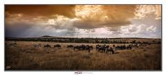 living in harmony, Masai Mara (Suvrangshu) Tags: suvrangshughoshphotography suvghoshphotography africa africansafari sarengeti masaimara wildlifephotography canon5dmarkiii tamaron150600mm panorama platinumheartaward