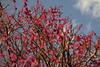 今日のお散歩♪ (luckyno3) Tags: umeblossoms 梅