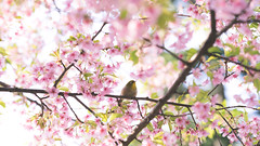 Early Bloomer (maida0922) Tags: a7r fe85mmf14gm japan tokyo ueno park spring cherry blossoms flower sunshine animals bird branch leaves green 河津桜 メジロ japanese whiteeye tree 16x9