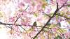Early Bloomer (maida0922) Tags: a7r fe85mmf14gm japan tokyo ueno park spring cherry blossoms flower sunshine animals bird branch leaves green 河津桜 メジロ japanese whiteeye tree 16x9