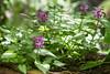 Lamium maculatum (Mariansary) Tags: lamiummaculatum lamium