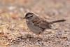 White-throated Sparrow (Hammerchewer) Tags: whitethroatedsparrow bird wildlife outdoor