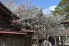 Japanese Apricot at Kotohira shrine (kzmiz) Tags: nikond800e japan chiba sanmu kotohira shrine jinjya japanese apricot ume