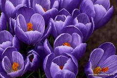 Frühlings Power (grafenhans) Tags: sony alpha 68 alpha68 a68 slt tamron 4056 70300 usd krokuss blumen blüte blüten farben color frühling grafenwald bottrop nrw