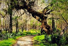Live Oak Trail, Brazos Bend State Park (3/12/2018) (stalnakerjack) Tags: trees swamp nature texaswildlife texas statepark brazos brazosbendstatepark