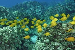 golden ribbon (BarryFackler) Tags: yellowtangs school fish group zebrasomaflavescens lauipala tangs hawaii pacificocean nature kona marinelife reef aquatic vertebrates organisms diver tropical life creatures sealife coralreef hawaiiisland 2018 barryfackler ecology marine polynesia fauna zoology bay sea westhawaii konacoast bigislanddiving biology coral hawaiicounty undersea island seawater diving sealifecamera beings animals seacreatures marinebiology water southkona honaunaubay saltwater pacific ocean underwater ecosystem outdoor scuba sandwichislands dive honaunau hawaiianislands hawaiidiving konadiving barronfackler bigisland marineecosystem zflavescens yellow reeffish saltwaterfish tropicalfish golden surgeonfish marineecology