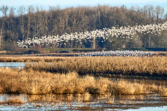 First Light (Gary Grossman) Tags: dawn sunrise flock geese marsh wetland nature wild waterfowl wildlife garygrossmanphotography pacificnorthwest winter sauvieisland landscape oregon