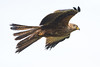 Red kite (Shane Jones) Tags: redkite kite bird birdinflight birdofprey raptor wildlife nature nikon d500 500mmf4 tc14eii