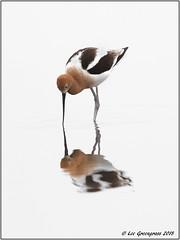 American Avocet Symmetry (pandatub) Tags: bird birds avocet americanavocet baylands paloalto reflection