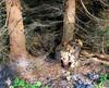 At the edge of the spruce forest (Jacek Magryta) Tags: jacek borydolnoslaskie forest tree landscape lowersilesia light zielonka zgorzeleccounty zielonkavillage spruce autumn mushroom flora poland polska nature colours