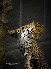 Scratching post (Through-my-eyes.) Tags: dartmoor dartmoorzoo jaguar cat big bigcat spots scratchingpost animal carnivore wild zoo enclosed tree scratch