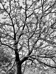 Snow in Rome, Italy (Massimo Virgilio - Metapolitica) Tags: monochrome blackandwhite italy rome nature winter tree snow