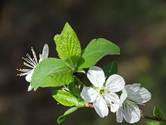 Spring time (RoBeRtO!!!) Tags: rdpic white flower green leaf nature spring fiore bianco foglia verde natura primavera macro closeup sonyhx400v