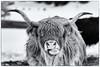 I see you (Roswitz) Tags: animal highland cattle snow black white