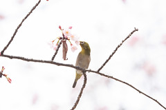 _3188235.jpg (plasticskin2001) Tags: mejiro sakura bird flower