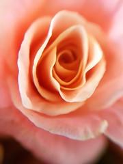 Cette belle Rose offre de la dentelle à qui veut (Christian Chene Tahiti) Tags: samsung s7e téléphone mobile rose macro auckland newzealand flower garden fleur flores fleurdenouvellezélande nz nouvellezélande jardin flore flor extérieur voyage travel closer closeup pink bokeh flora
