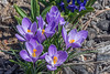 Behold, I make all things new! (Pejasar) Tags: crocus purple spring tulsa oklahoma nikon d7200 blooms blossoms new behold beauty