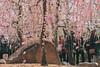 城南宮|京都 (KaguraYanki) Tags: canon650d 京都 城南宮 梅花 梅 梅花雨 枝垂梅 しだれ梅 椿まつり 源氏物語 花見 花之庭 kyoto japan photography