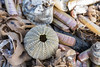 IMG_0370 (Adrian Royle) Tags: lincolnshire skegness gibraltarpointnnr nature wildlife marine beach shellfish crabs urchin lobster starfish nikon macro