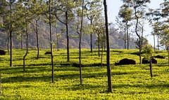 Gaur (Indian bison) in the Tea Hills by our Hotel in Coonoor (amanda & allan) Tags: india tamilnadu indianbison gaur teaplantation tea teahills