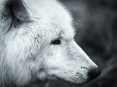 berkshire-12-120118 (Snowpetrel Photography) Tags: berkshire olympusem1 olympusm40150mmf28 ukwolfconservationtrust blackandwhite conservation monochrome nature widlife winter wolf wolves beenham england unitedkingdom
