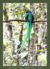 Resplendent Quetzal, male (Jan H. Boer, Nature photographer) Tags: pharomachrusmocinno resplendentquetzal quetzal birds nature wildlife costarica sangerardodedota quetzalvalley nikon d500 afsnikkor200500f56eedvr jan´sphotostream2018