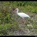Ibis blanc (Eudocimus albus)