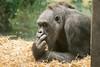 2018-03-06-11h09m02.BL7R0352 (A.J. Haverkamp) Tags: canonef100400mmf4556lisiiusmlens indexfinger shindy wijsvinger amsterdam noordholland netherlands zoo dierentuin httpwwwartisnl artis thenetherlands gorilla sindy pobrotterdamthenetherlands dob03061985 nl