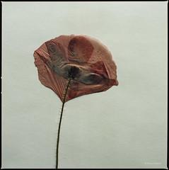 Mohnblume (Konrad Winkler) Tags: mohnblume klatschmohn pflanze makro rot papier extensiontube32 hasselblad503cx kodakportra160 mittelformat 6x6 epsonv800
