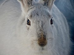"""365-4-68 """"Our"""" Prairie Hare who sits outside our window to pass the time... (benlarhome) Tags: calgary alberta canada"""