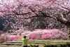 Cherry Blossoms (Jennifer 真泥佛) Tags: 武陵農場 櫻花 粉紅佳人 cherryblossom