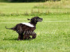 CoursingVillaverla2016w-063 (Jessica Sola - Overlook) Tags: dogs sighthounds afghanhounds greyhounds saluki barzoi italiangreyhounds irishwolfhounds lurecoursing lure race run dograces field greengrass