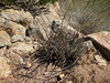 Dudleya edulis (Spifferella) Tags: jamulca jamulcalifornia hollenbeckcanyon jamul californianativeplants dudleyaedulis dudleya