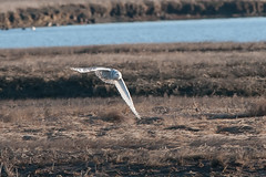 Blizzard (martytdx) Tags: birds birdofprey owl snowyowl buboscandiacus female bubo strigidae brigantine edwinbforsythenwr forsythenwr nj nwr birding