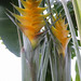 Heliconia Caribaea (Gold Heliconia)