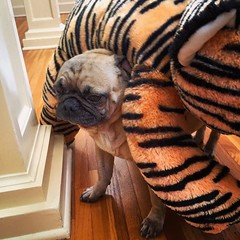 """He ain't heavy…he's my tiger…! 🎶 So on we go…🎶 His welfare is my concern…🎶 No burden is he..to bear. 🎶 We'll get there…🎶 …I've been song💥bombed!"" -Pugsley Luigi  #thehollies #love #dog #pug #tiger #brother #song (TheZenOfPugsleyLuigi) Tags: brothers thehollies love dog pug tiger brother zen singing song bomb"