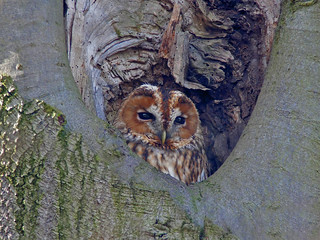 One more shot from yesterday...Tawny Owl