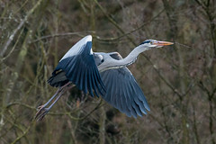 Heron and twigs at Sevenoaks
