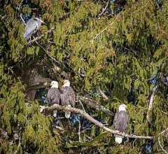 3 eagles and a heron (dwb838) Tags: baldeagles brackendale