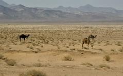Jordan:  Camels In The Hinterlands (doug-craig) Tags: asia jordan camels animals dromedary travel stock nikon d7000 journalism photojournalism dougcraigphotography nationalgeographic animalplanet coth coth5