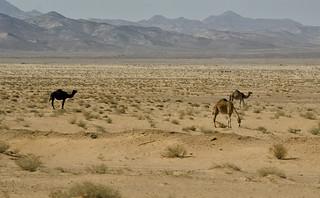 Jordan:  Camels In The Hinterlands
