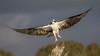 VTOL (gseloff) Tags: osprey bird flight bif takeoff nature wildlife animal bayou mudlake pasadena texas kayak gseloff