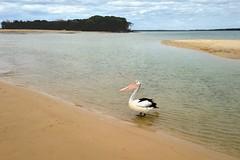 welcome to pelican island (sculptorli) Tags: pelican australia queensland island beach inskippoint
