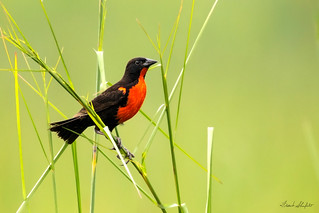 Red-breasted Meadowlark (Sturnella militaris)