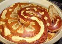 Snake at rest (EcoSnake) Tags: mars albino malaysianbloodpython pythoncurtusbrongersmai snakes reptiles